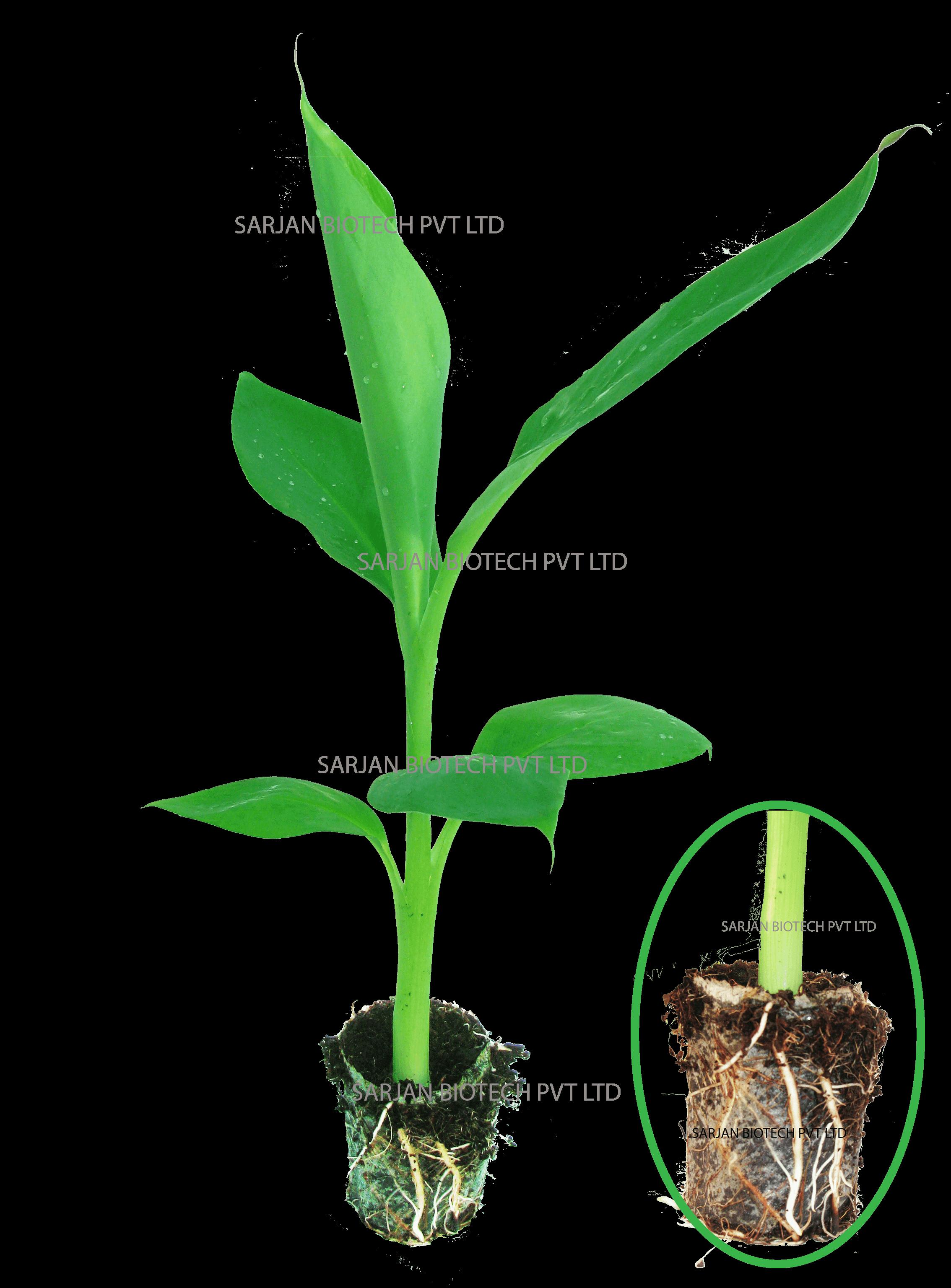 plant tissue culture company india